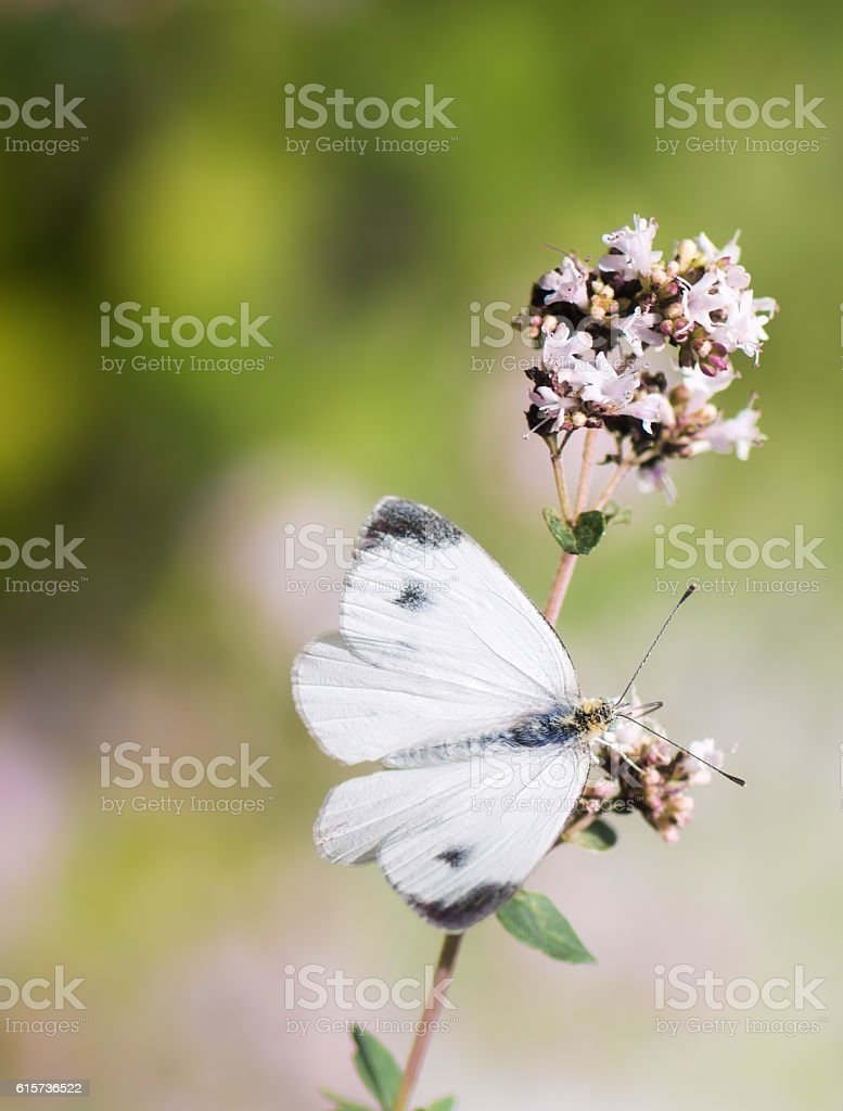White Cabbage Butterfly On A Flower Stock Photo Istock