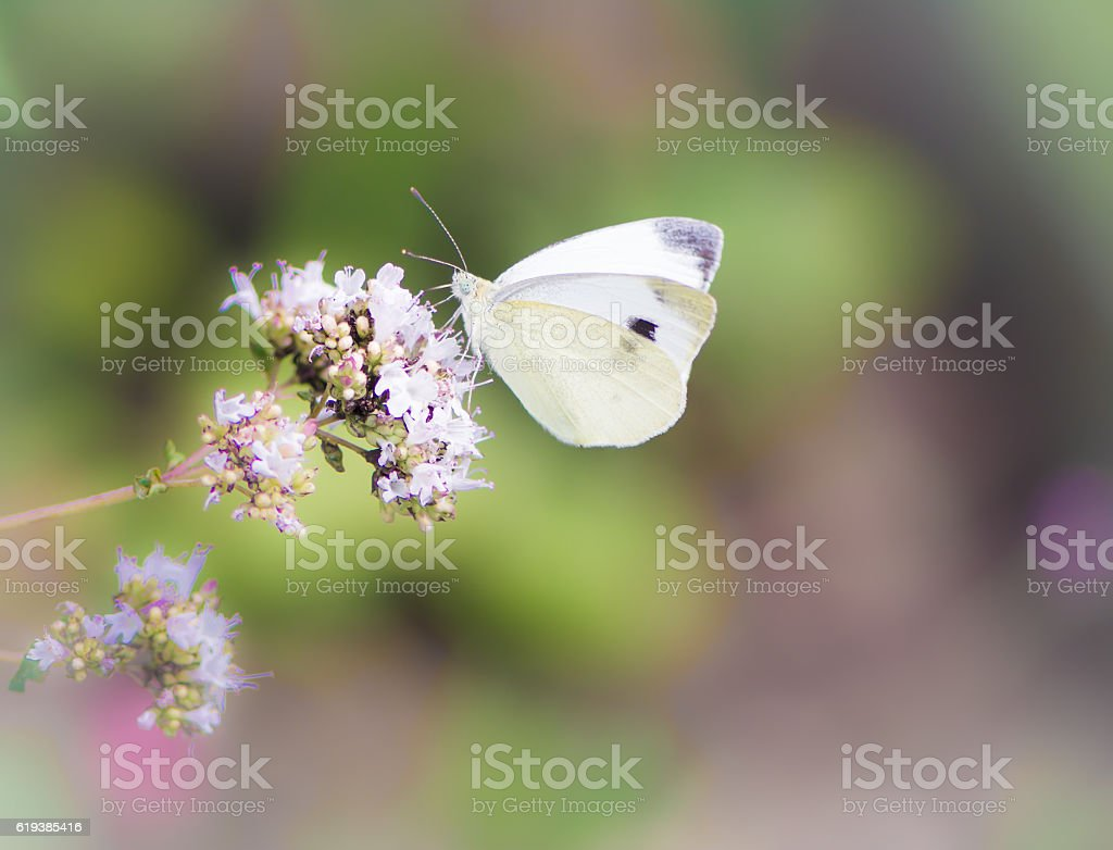 White cabbage butterfly on a flower stock photo