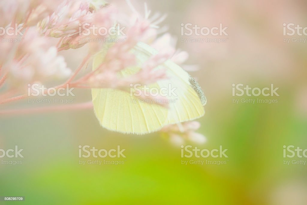 White Cabbage Butterfly Resting On Sedum Flowers royalty-free stock photo