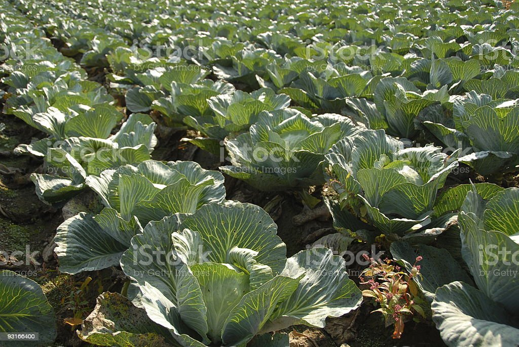 White Cabbage Field stock photo
