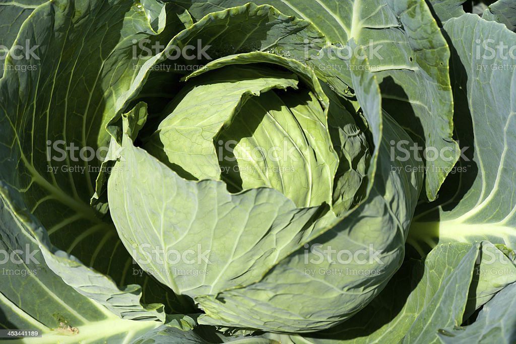 White cabbage head royalty-free stock photo