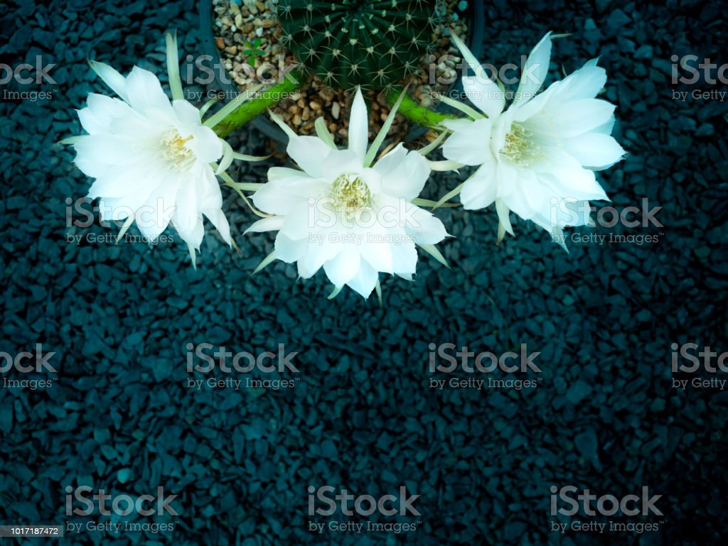 White Cactus Flower Blooming On The Stone Stock Photo More