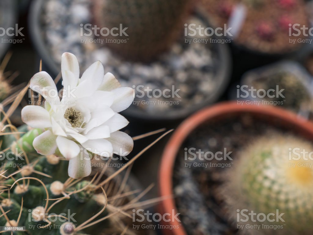 White Cactus Flower Blooming Stock Photo More Pictures Of Abstract