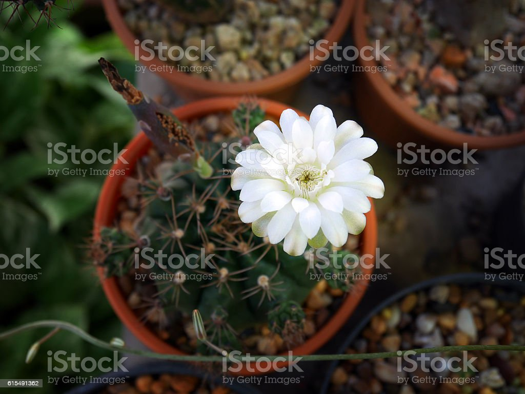 White Cactus Flower From Top View Stock Photo 615491362 Istock