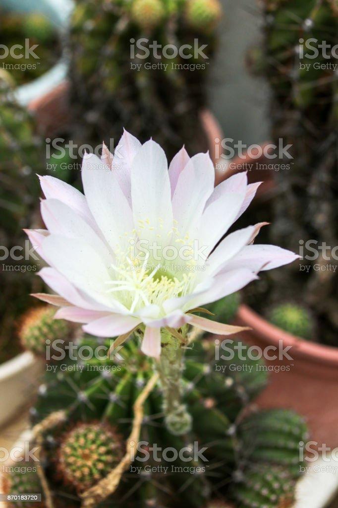 White cactus flower stock photo more pictures of arizona istock white cactus flower royalty free stock photo mightylinksfo