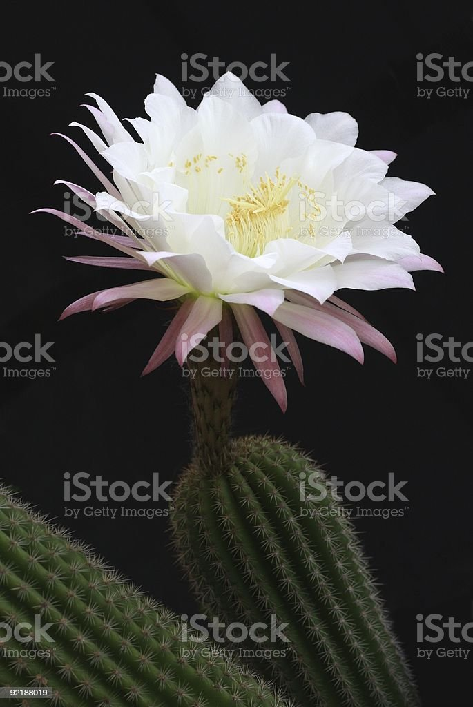 White Cactus Flower royalty-free stock photo