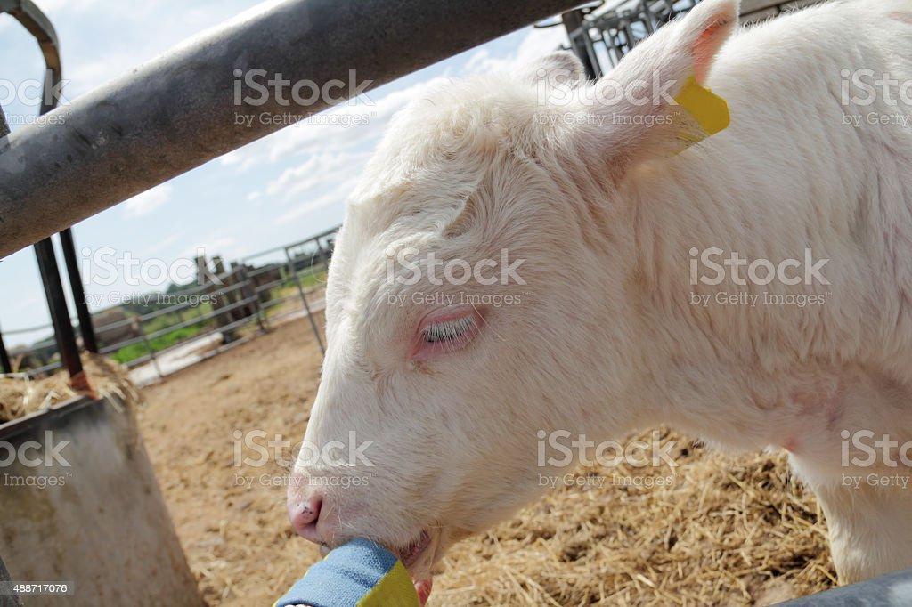 white calf outside stock photo