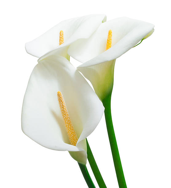 white calla flowers stock photo