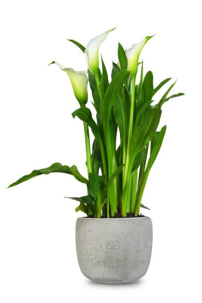 Weiße Calla im Blumentopf isoliert auf weißem Hintergrund – Foto