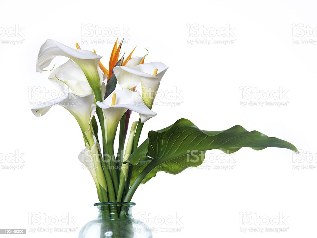 White Calla Lilies Stock Photo Download Image Now Istock