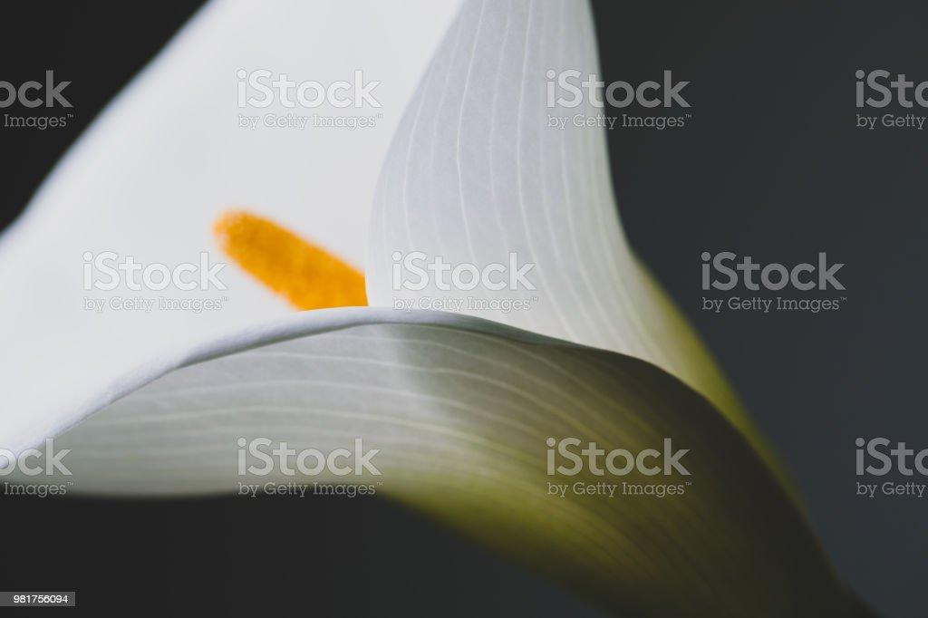 Photo Libre De Droit De Fleur De Lys Calla Blanc Grimpe En