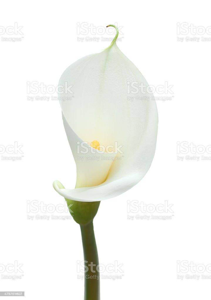 Lis calla blanc - Photo