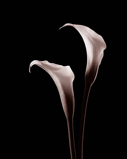 White Calla Twins stock photo