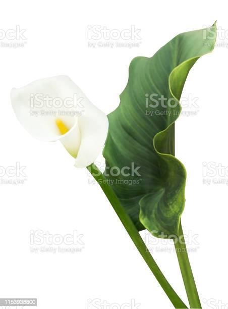 White calla with leaf isolated picture id1153938800?b=1&k=6&m=1153938800&s=612x612&h=mhwzbzv5jnqozm  sc4u8yjob8qlppqugmps hakelu=