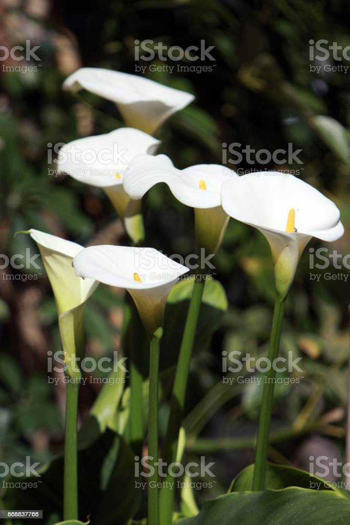 white callas stock photo