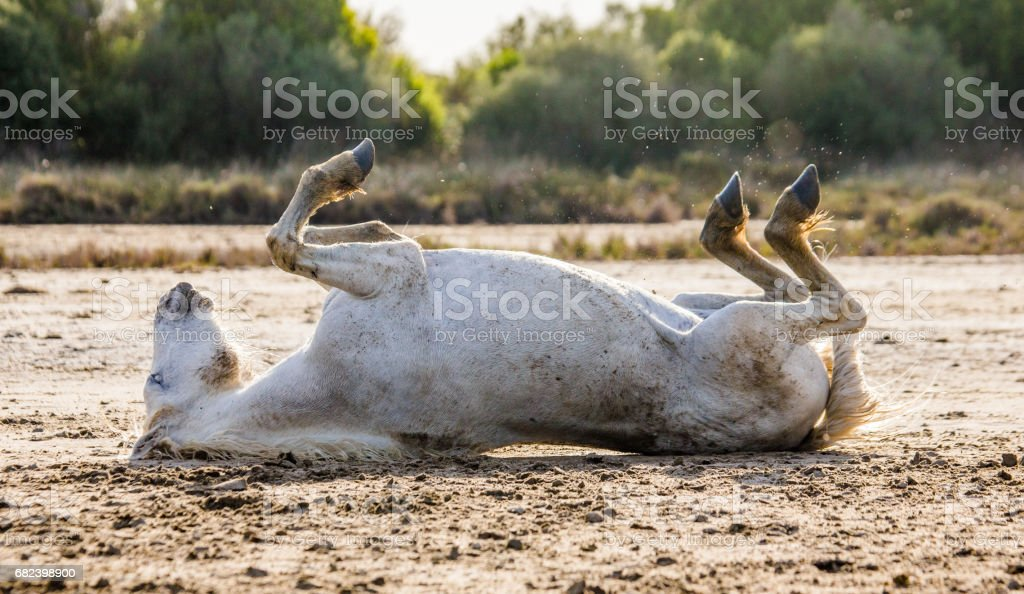 White Camargue horse lying on his back on the ground. royalty-free stock photo