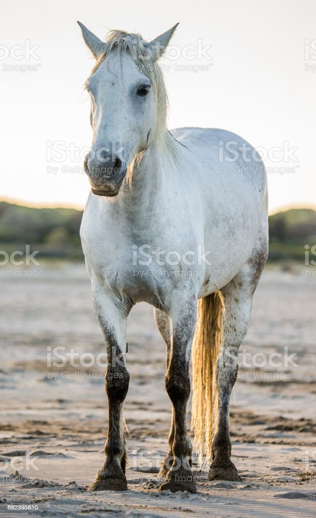 White Camargue horse standing on sand. foto stock royalty-free