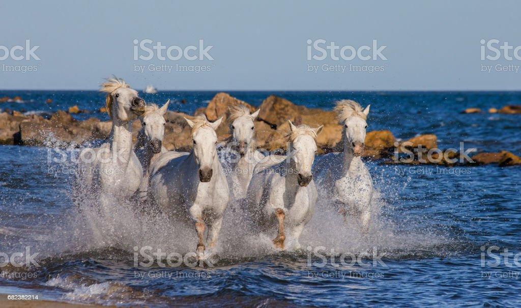 White Camargue Horses galloping along the sea beach. photo libre de droits