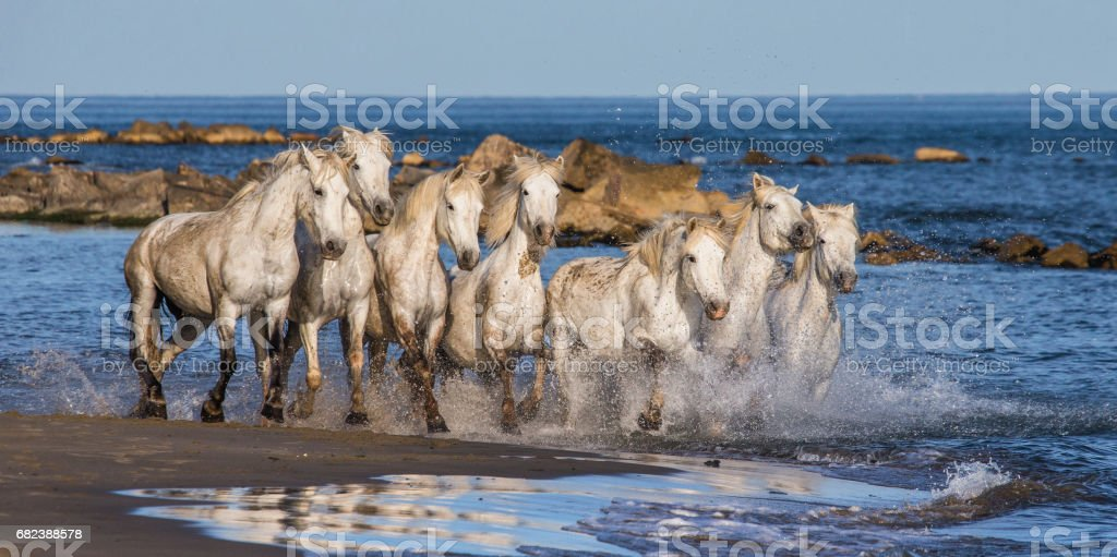 White Camargue Horses galloping along the sea beach. royalty-free stock photo