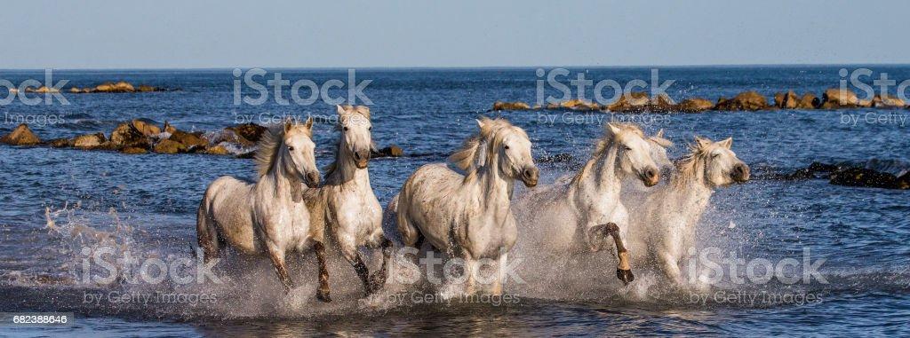 White Camargue Horses galloping along the sea beach. zbiór zdjęć royalty-free