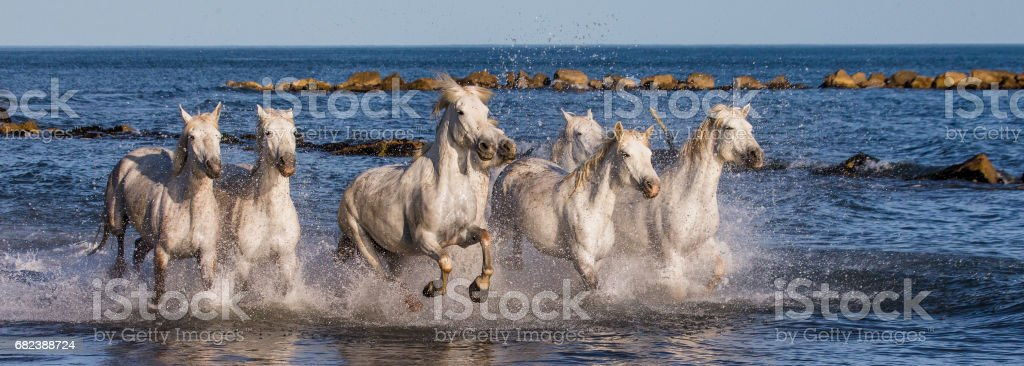 White Camargue Horses galloping along the sea beach. foto stock royalty-free