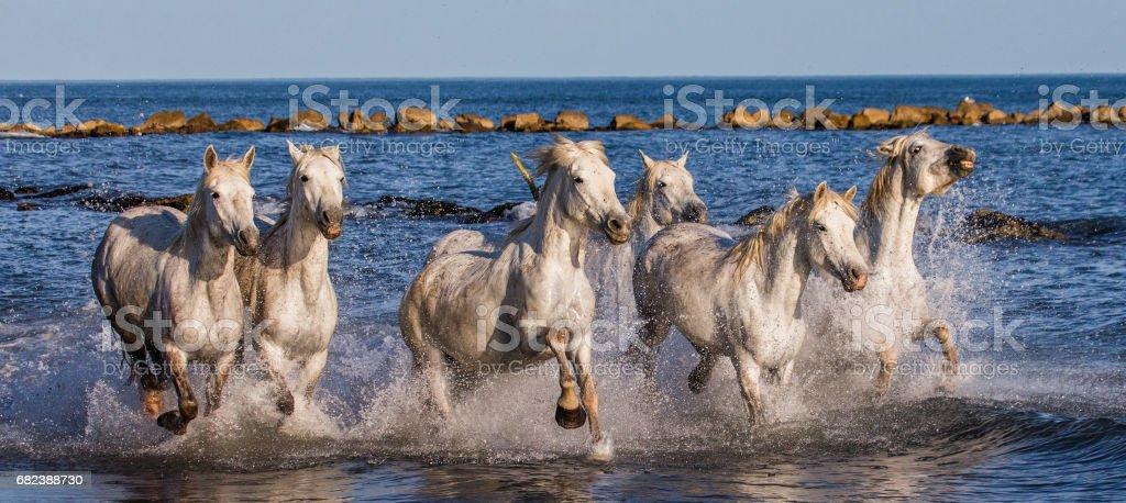 White Camargue Horses galloping along the sea beach. royalty-free stock photo