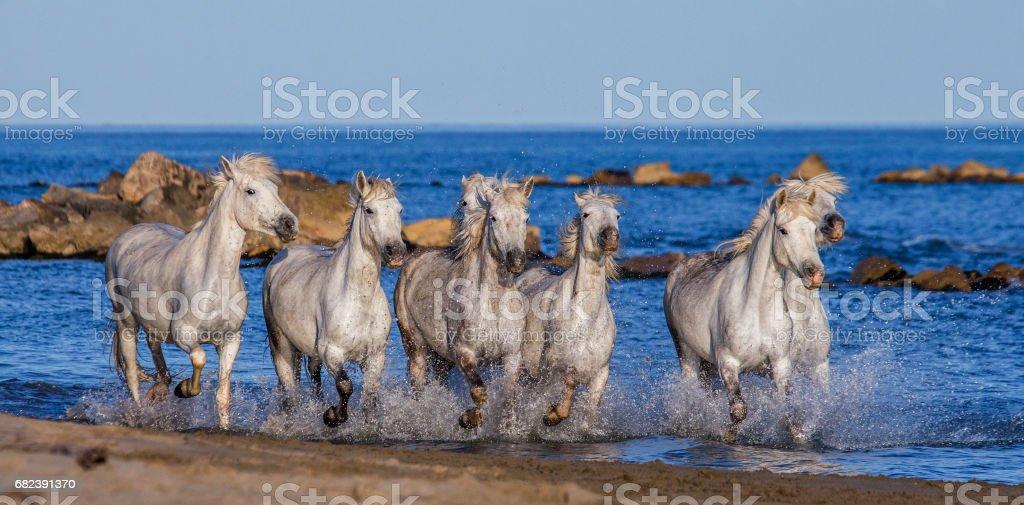 White Camargue Horses galloping along the sea beach. royaltyfri bildbanksbilder