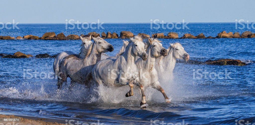 White Camargue Horses galloping along the sea beach. zbiór zdjęć royalty-free
