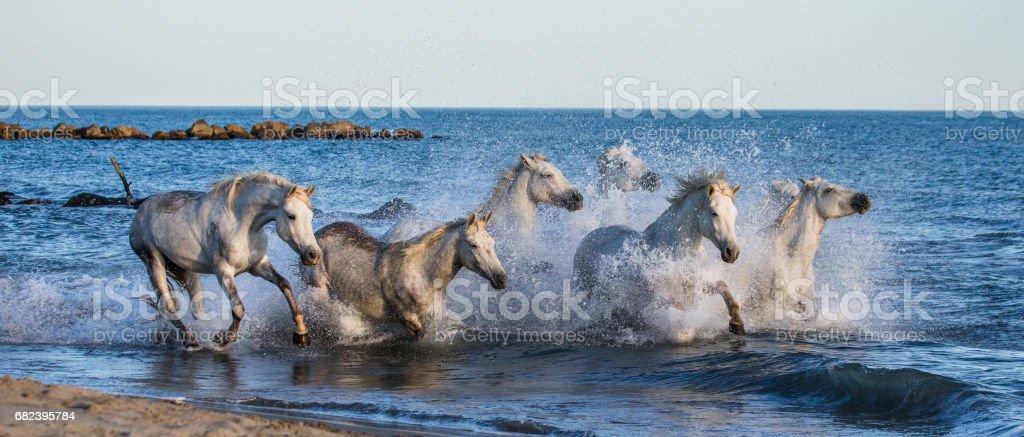 White Camargue Horses galloping along the sea beach. foto stock royalty-free