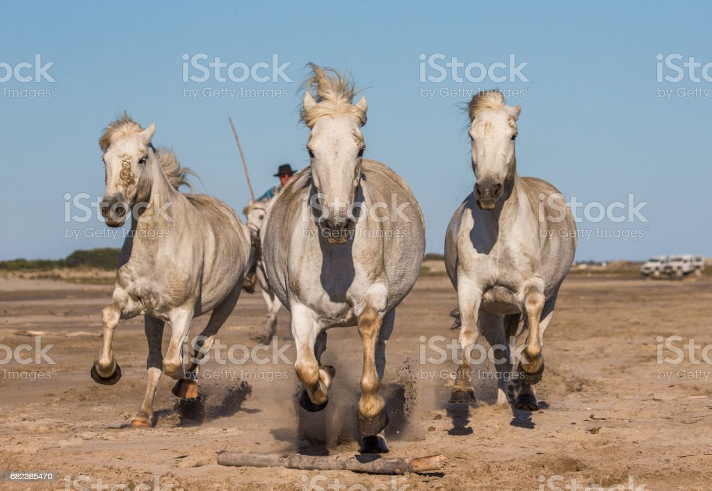 White Camargue Horses galloping on the sand. royalty-free stock photo