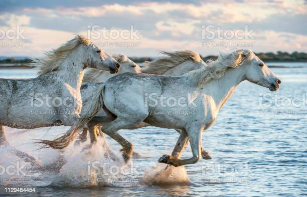 White camargue horses galloping on the water picture id1129484454?b=1&k=6&m=1129484454&s=612x612&h=u xgjozlsa1vxnbubax0bnh excfy9pbuf1lstvfrag=