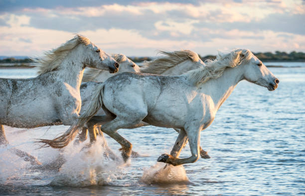 cavalli bianchi di camargue al galoppo sull'acqua. - fauna selvatica foto e immagini stock
