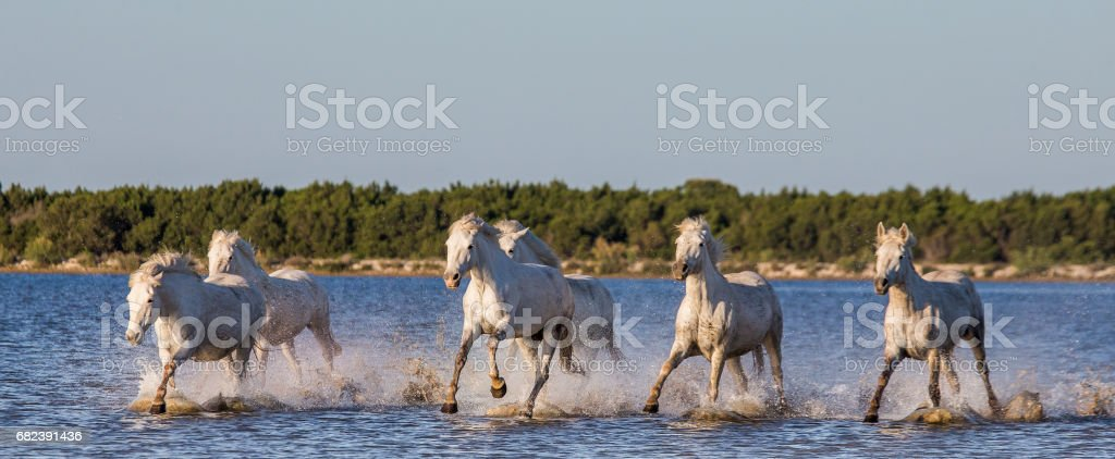 Blanco Camargue caballos correr en la reserva natural de pantanos. foto de stock libre de derechos