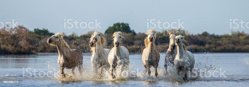 White Camargue Horses run in the swamps nature reserve. photo libre de droits