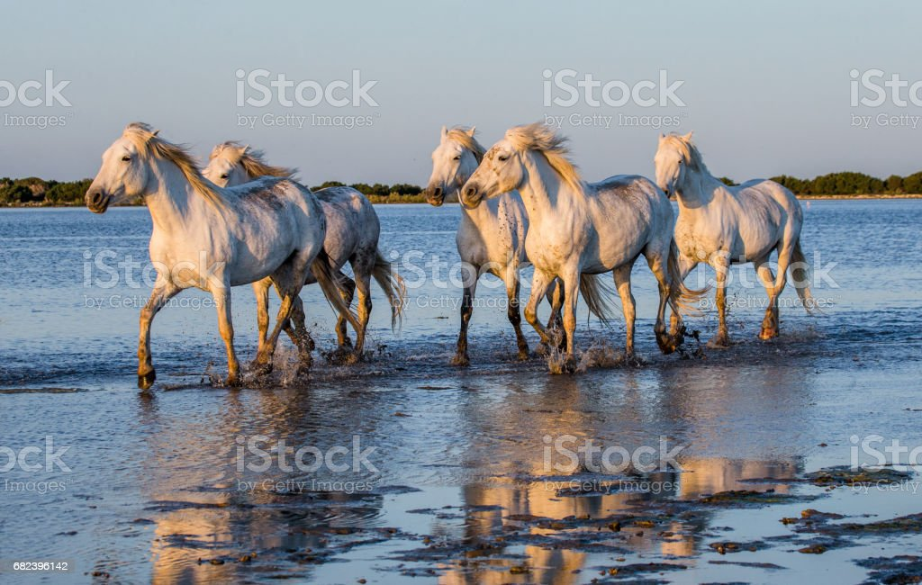 White Camargue Horses run in the swamps nature reserve. stock photo