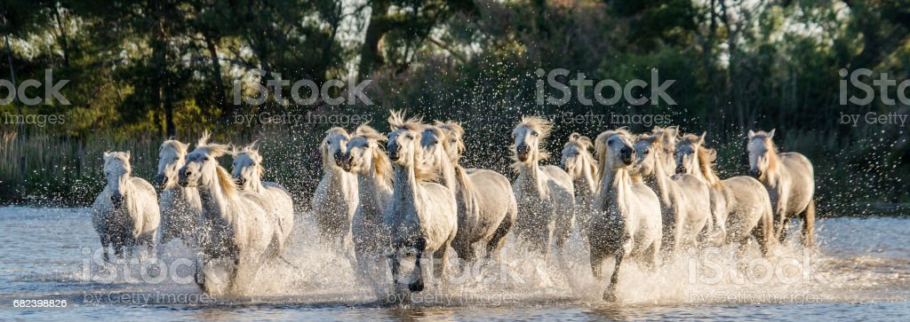 White Camargue Horses run in the swamps nature reserve. photo libre de droits