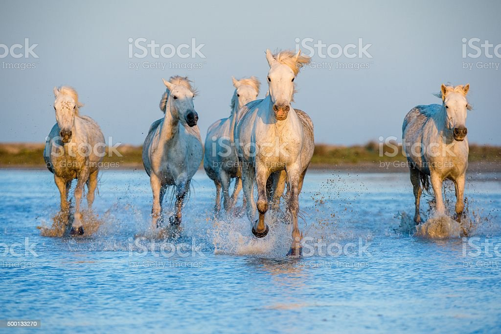 White Camargue Horses running on the water stock photo