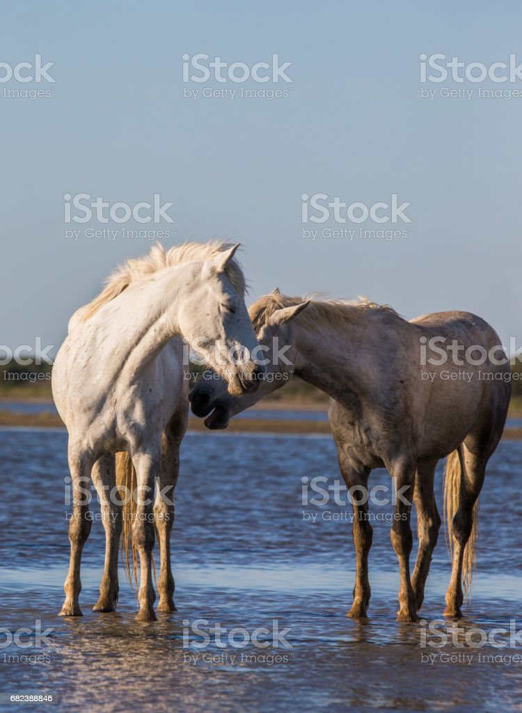 White Camargue Horses stand in the swamps nature reserve. foto stock royalty-free