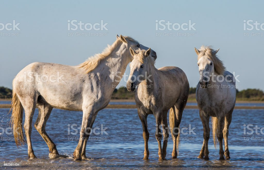 White Camargue Horses stand in the swamps nature reserve. royalty-free stock photo