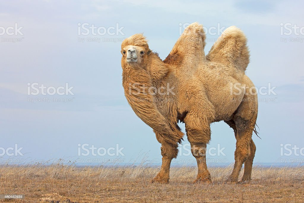 White Camel stock photo