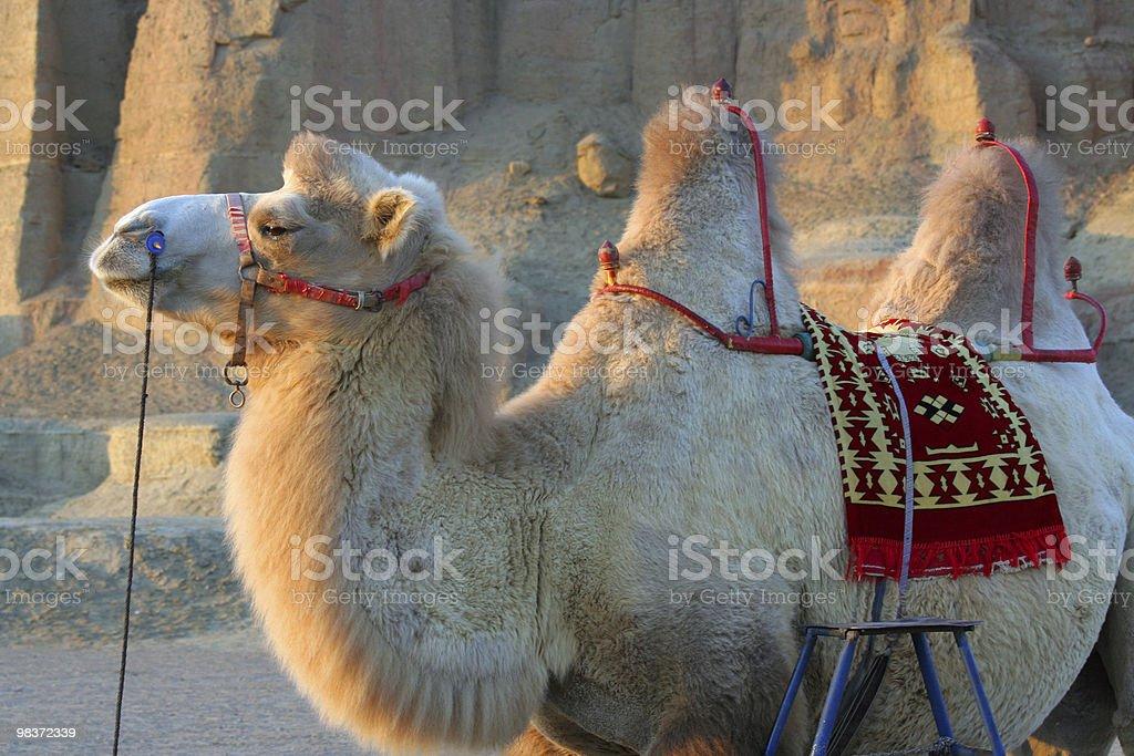 white camel royalty-free stock photo