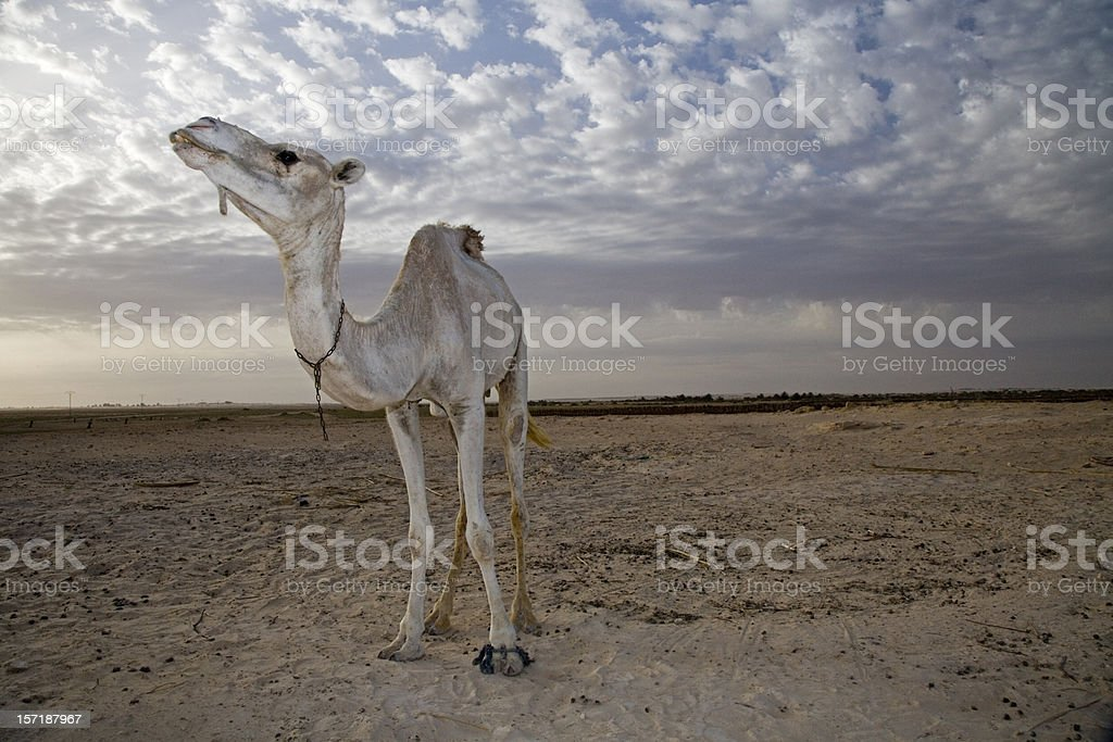 white camel sahara desert royalty-free stock photo