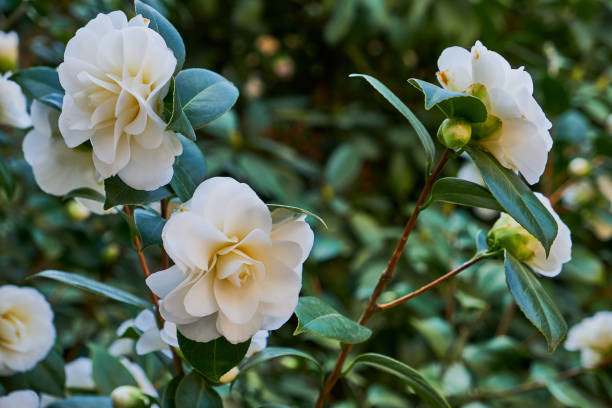 white camellia blooming on a green bush stock photo