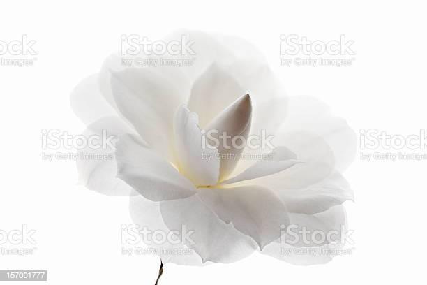 White camellia flower picture id157001777?b=1&k=6&m=157001777&s=612x612&h=6nglxfog0ptwgcuvltn6ybms8bpni3vz0uoerruh mw=