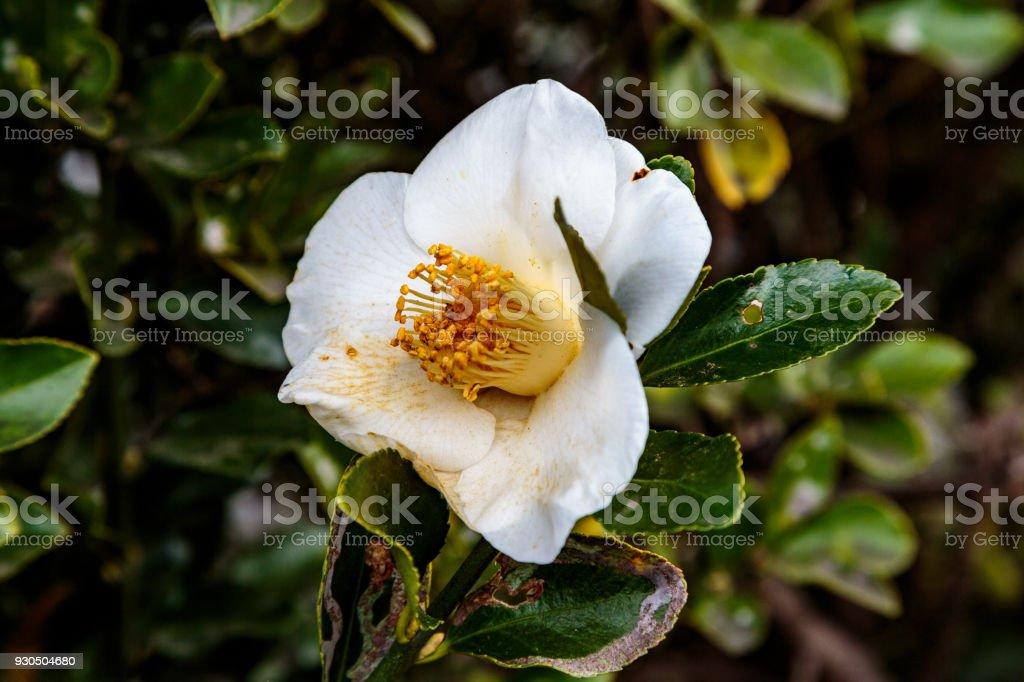 White camellia flower stock photo more pictures of backgrounds white camellia flower royalty free stock photo mightylinksfo