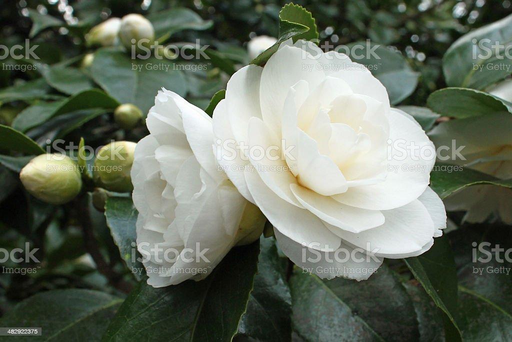 white Camellia flowers stock photo