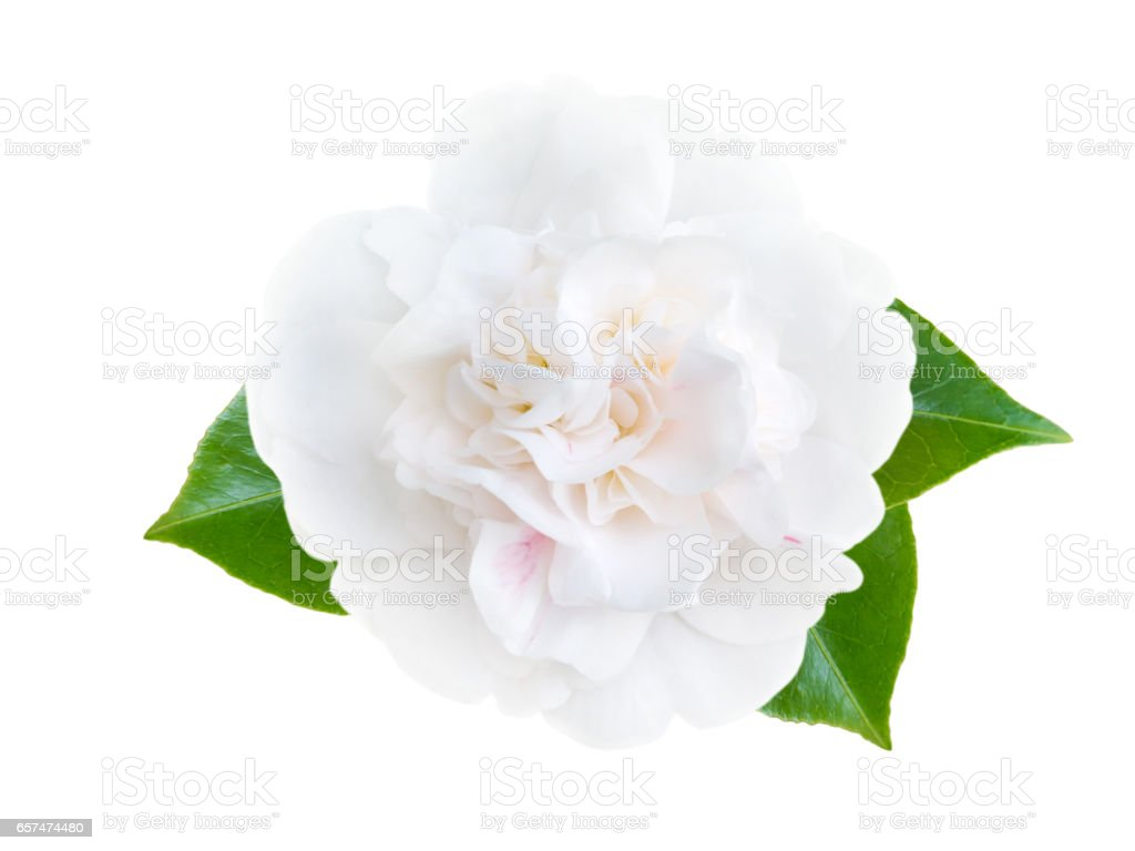White camellia peony form flower with leaves stock photo