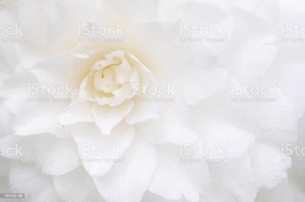 White Camellia stock photo