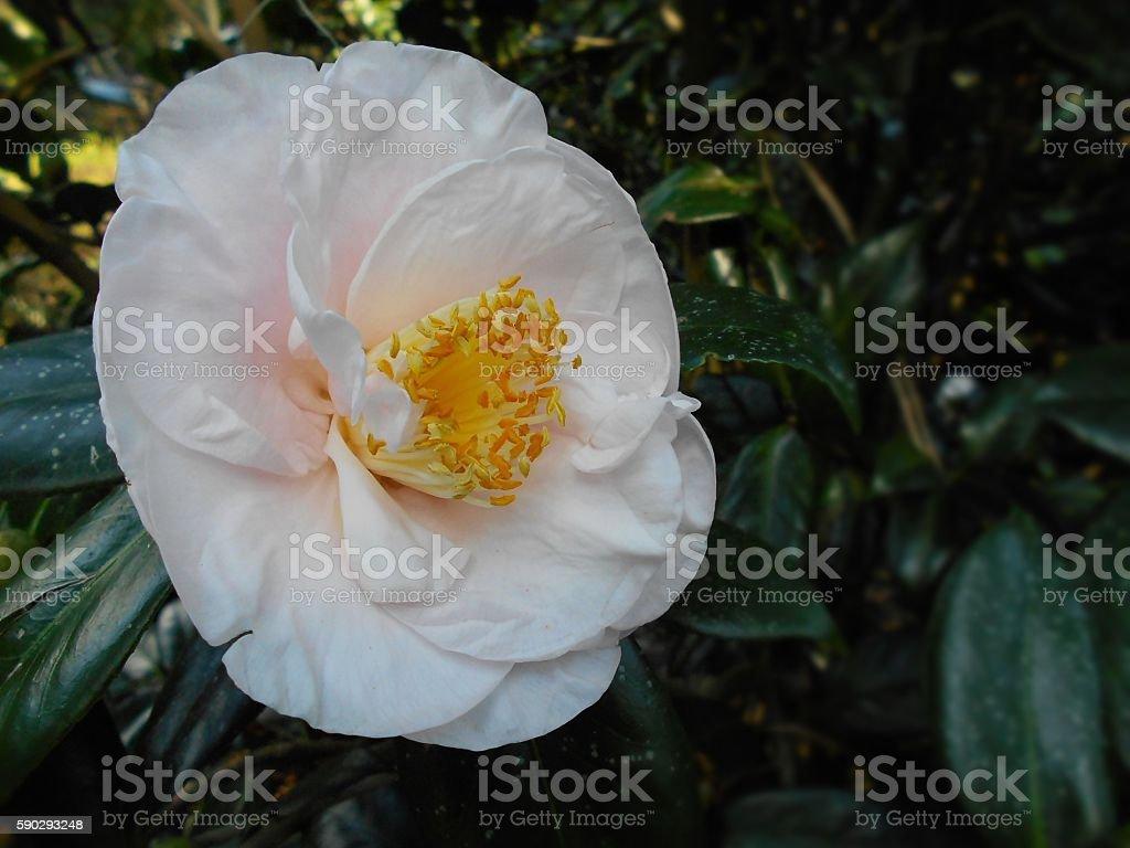 White camellia royaltyfri bildbanksbilder