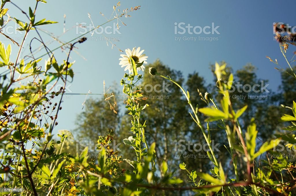 White camomile in green grass, blue sky. stock photo